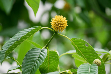What is up with this crazy leaf strain! Everything you need to know about elephant Kratom